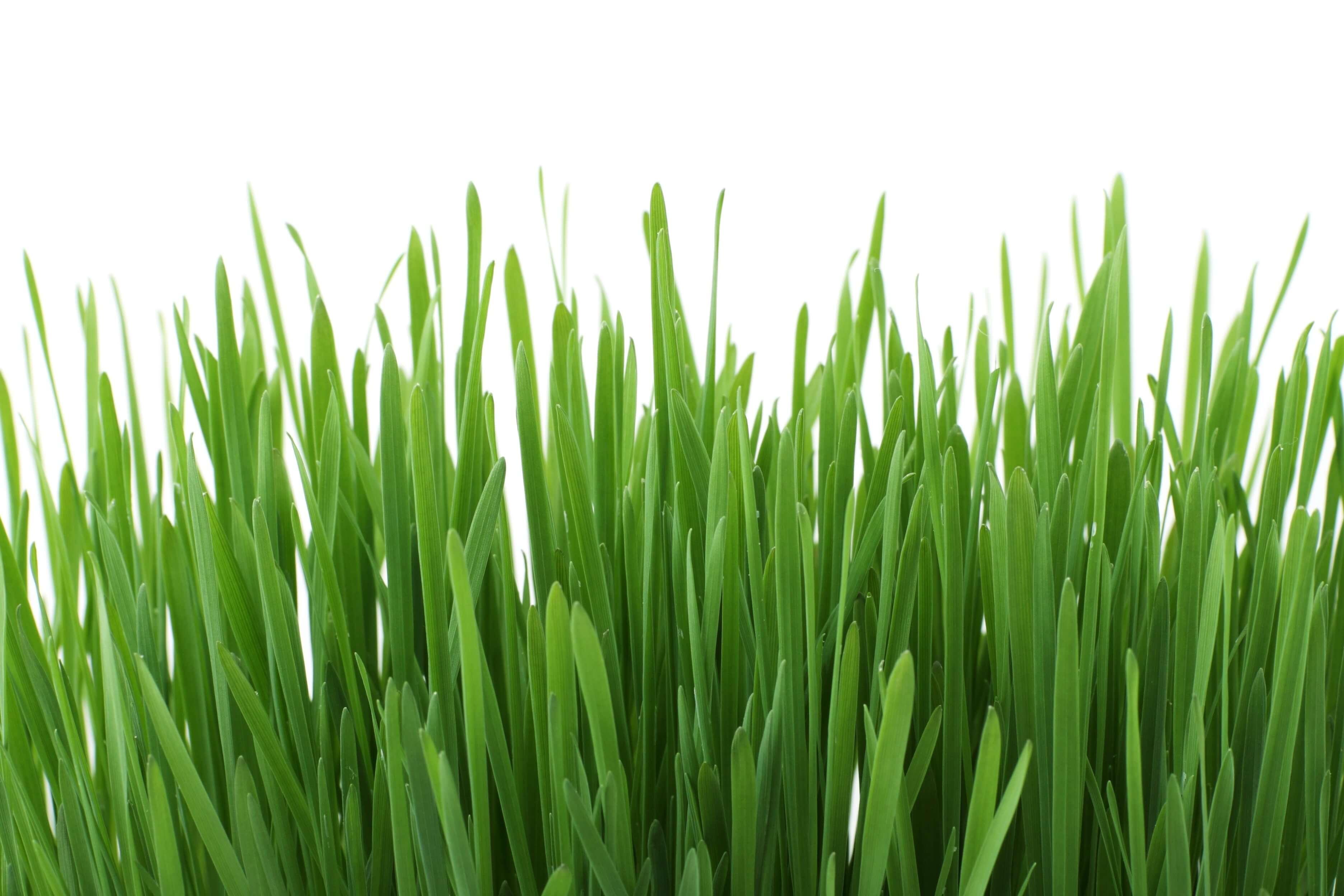 Bien Verde - Productos de calidad derivados del Pasto de Trigo en México